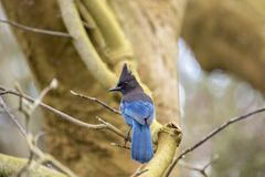 Steller`s Jay Cyanocitta stelleri. Spotted outdoors in California Royalty Free Stock Photos
