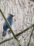 Steller`s Jay Cyanocitta stelleri. Spotted outdoors in California Royalty Free Stock Photography