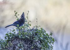 Steller`s Jay Cyanocitta stelleri. Spotted outdoors in California Stock Photography