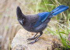 Steller`s Jay Cyanocitta stelleri. Spotted outdoors in California Royalty Free Stock Images