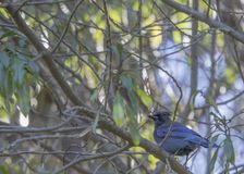 Steller`s Jay Cyanocitta stelleri. Spotted outdoors in California Royalty Free Stock Image