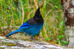 Steller's Jay Stock Photo