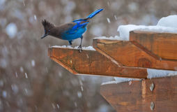 Steller`s Jay and falling snow stock photos