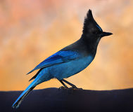 Steller's Jay. A Steller's Jay perched on a bench royalty free stock photos