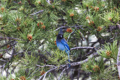 Steller`s Jay on a Pine Tree in Colorado Royalty Free Stock Image
