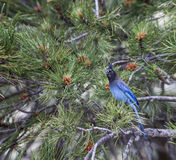 Steller`s Jay on a Pine Tree Royalty Free Stock Photo