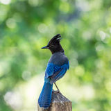 Steller's Jay posing on fence post Stock Image