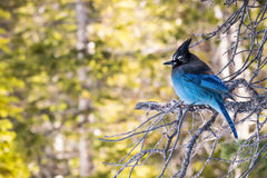 Steller`s Jay, Side View royalty free stock image
