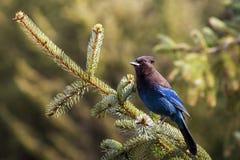 Steller's Jay on Spruce Stock Image