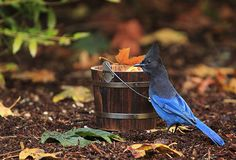 Steller`s Blue Jay Wooden Bucket Fall Leaves stock images