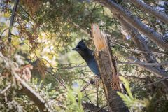 Steller`s Jay. Steller`s Blue Jay sitting on a branch in the forest Royalty Free Stock Photo
