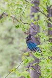 Steller`s Jay on a tree branch in deciduous forest stock images