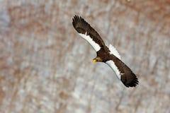Steller` s overzeese adelaar, Haliaeetus-pelagicus, vliegende roofvogel, met blauwe hemel op achtergrond, Hokkaido, Japan Eagle m royalty-vrije stock foto