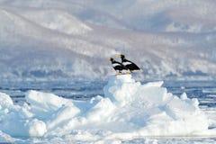 Steller` s overzeese adelaar, Haliaeetus-pelagicus, vogel met vangstvissen, met witte sneeuw, Sakhalin, Rusland Eagle op ijs Wi v Stock Afbeeldingen
