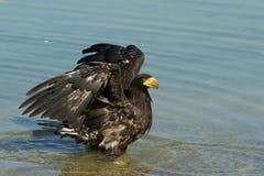 Steller& x27; s overzeese adelaar in vijver Royalty-vrije Stock Afbeeldingen