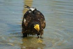 Steller& x27; s overzeese adelaar in vijver Royalty-vrije Stock Foto