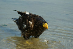 Steller& x27; s overzeese adelaar in vijver Stock Afbeeldingen