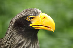 Steller's Sea Eagle. Closeup of head (Haliaeetus pelagicus Stock Image