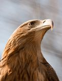 Steller's sea eagle Stock Photography