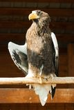 Steller's sea eagle stock photo