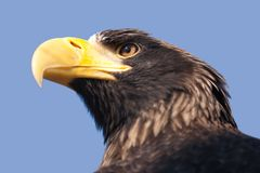 Steller's sea eagle Royalty Free Stock Photography