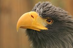 Steller´s sea-eagle Royalty Free Stock Image