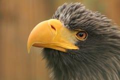 Steller´s sea-eagle Royalty Free Stock Image
