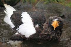 Steller's sea eagle Royalty Free Stock Images