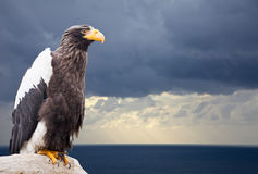 Steller's sea eagle Royalty Free Stock Image
