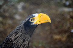 Steller's sea eagle. Order Falconiformes. The family of hawk Royalty Free Stock Photos