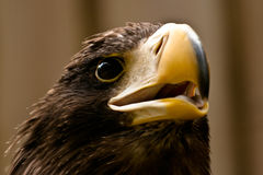Steller's sea eagle. Stare close-up Royalty Free Stock Photo