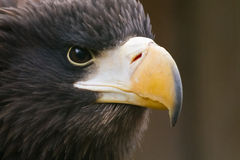Steller's sea eagle. Stare portrait Royalty Free Stock Photography