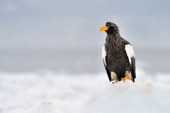 Steller's Sea Eagle. Standing on ice Royalty Free Stock Photography