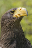 Steller's Sea Eagle. Closeup of Steller's Sea Eagle, Haliaeetus pelagicus Stock Photography