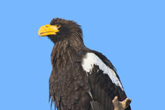 Steller's Sea Eagle. (Haliaeetus pelagicus royalty free stock photos