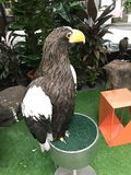 Steller`s sea eagle. royalty free stock photos