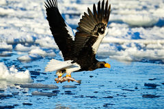 Steller s sea eagle attacks Stock Photos