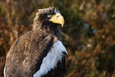 Steller's Sea Eagle with autumn background Stock Photography