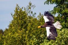 Steller`s sea eagle Royalty Free Stock Photo