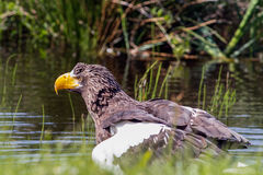 Steller`s sea eagle Stock Image