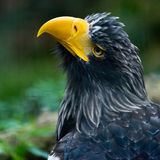 Steller's sea eagle Royalty Free Stock Photo