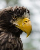 Steller's sea eagle. Detail of the head of the eagle of the eastern royalty free stock photos