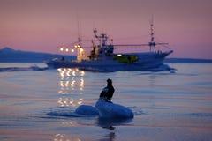 Steller`s sea eagle with fish boat, Haliaeetus pelagicus, morning sunrise, Hokkaido, Japan. Eagle floating in sea ice. Wildlife b Stock Photography