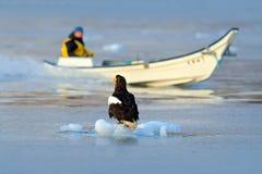 Steller`s sea eagle with fish boat, Haliaeetus pelagicus, morning sunrise, Hokkaido, Japan. Eagle floating in sea ice. Wildlife b Royalty Free Stock Image