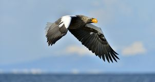 Steller`s sea eagle in flight. Blue sky background. Steller`s sea eagle in flight. Adult Steller`s sea eagle. Haliaeetus pelagicus Royalty Free Stock Images