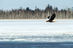 Steller`s sea eagle in flight, Hokkaido, Japan, majestic sea raptors with big claws and beaks, wildlife scene from nature,birding. Adventure in Asia,beautiful stock images