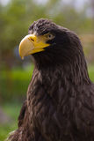 Steller's sea eagle (Haliaeetus pelagicus). In zoo Stock Photo