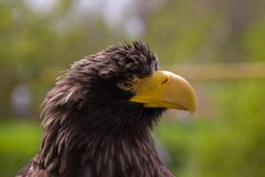 Steller's sea eagle (Haliaeetus pelagicus) Stock Photo