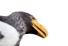 Steller's sea eagle Stock Photo