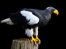 Steller's sea eagle Stock Image